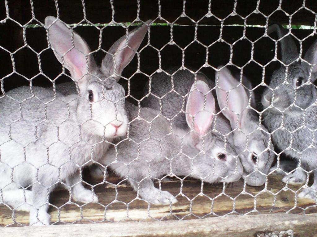 серые кролики