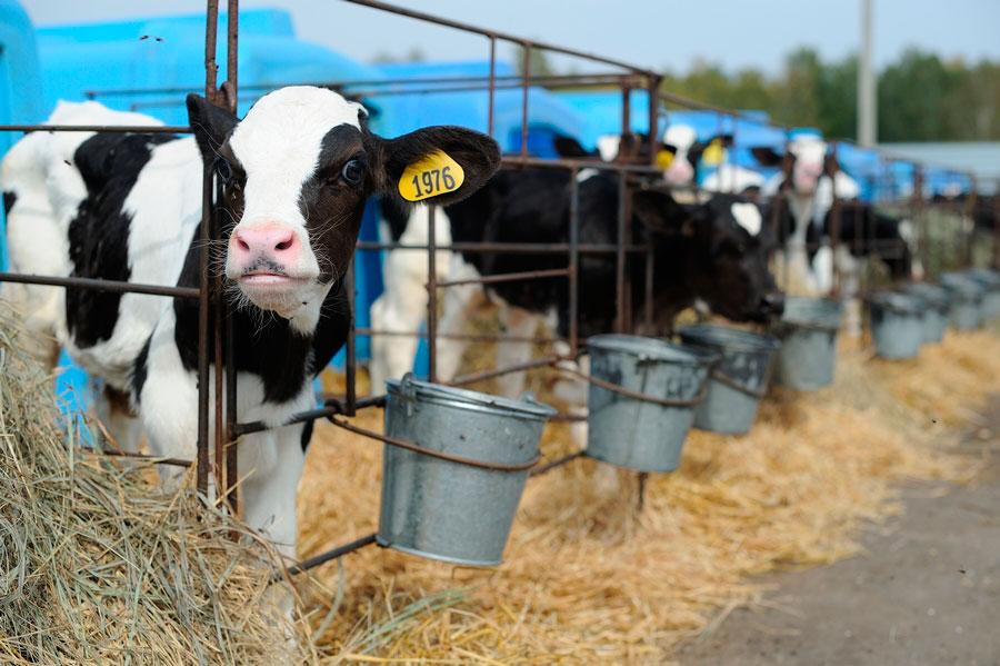молочная ферма на 140 голов КРС