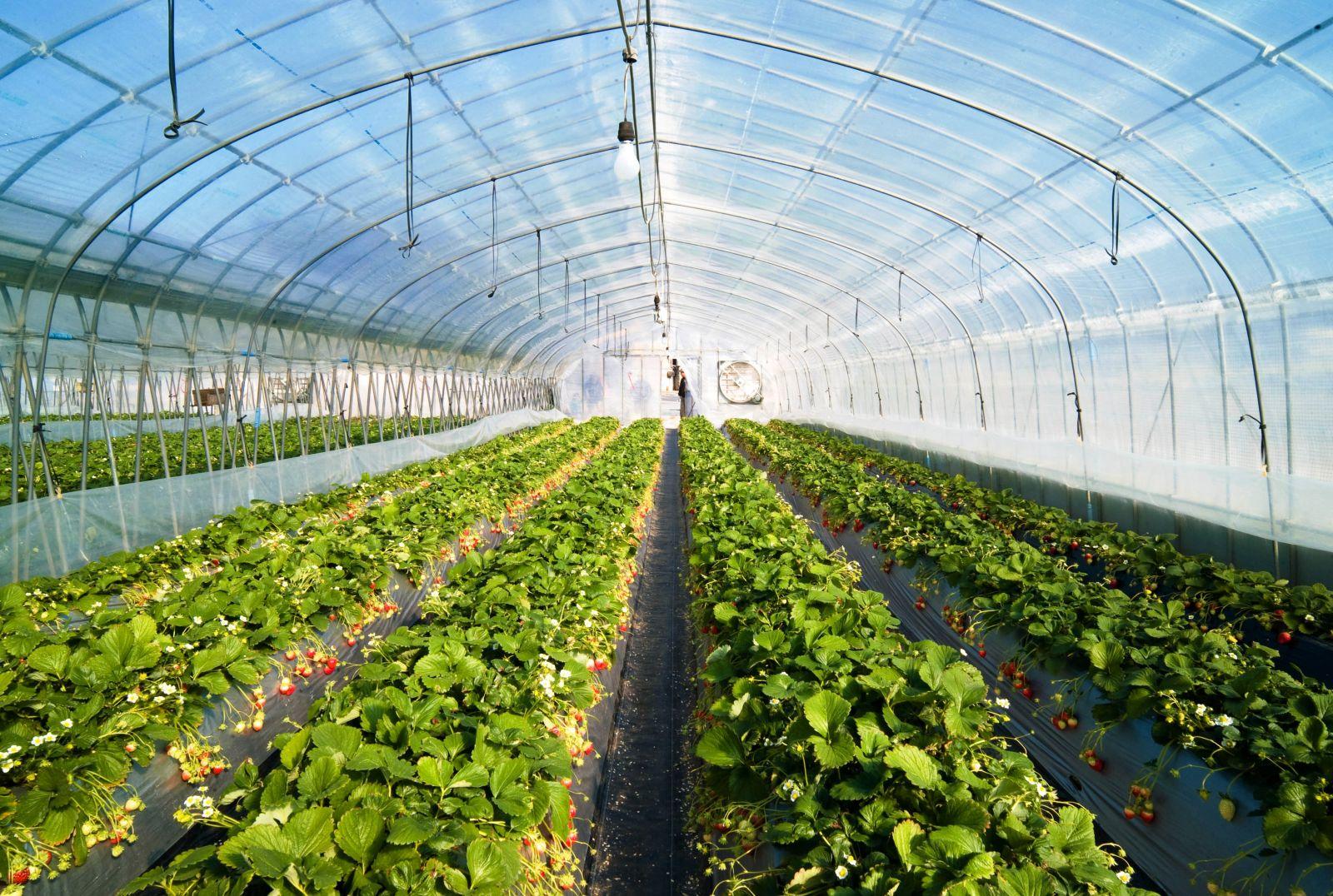 тепличный комплекс выращивания клубники сорта Elsanta (Голландия) в закрытом грунте площадью 0,5 га
