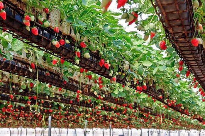 Рентабельность бизнеса по выращиванию клубники 100 85