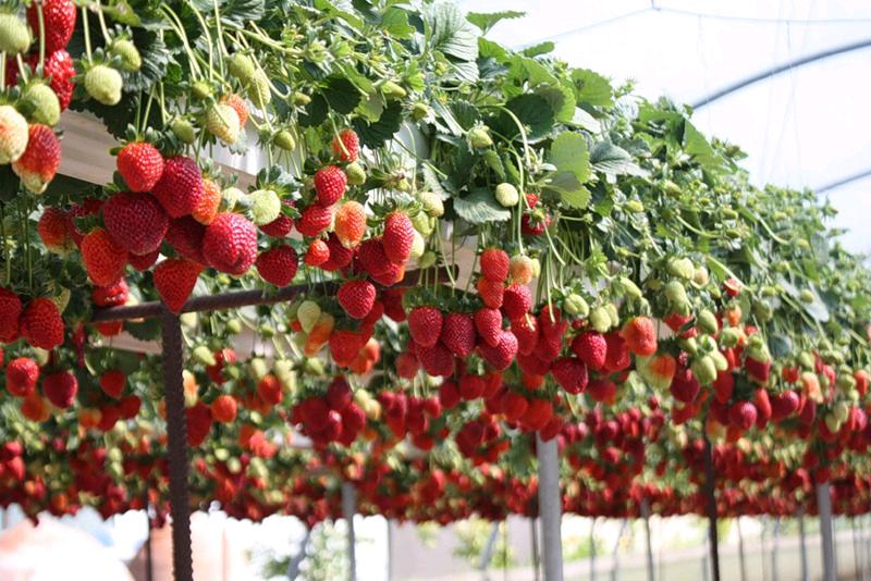 Рентабельность бизнеса по выращиванию клубники 100 35